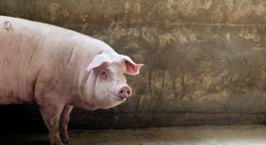Kolejne ognisko afrykańskiego pomoru świń w Lubelskiem