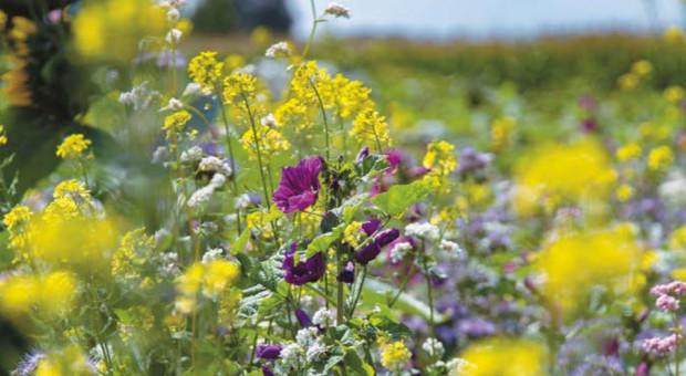 Wzbogacić pola  o międzyplony i gatunki pożytkowe