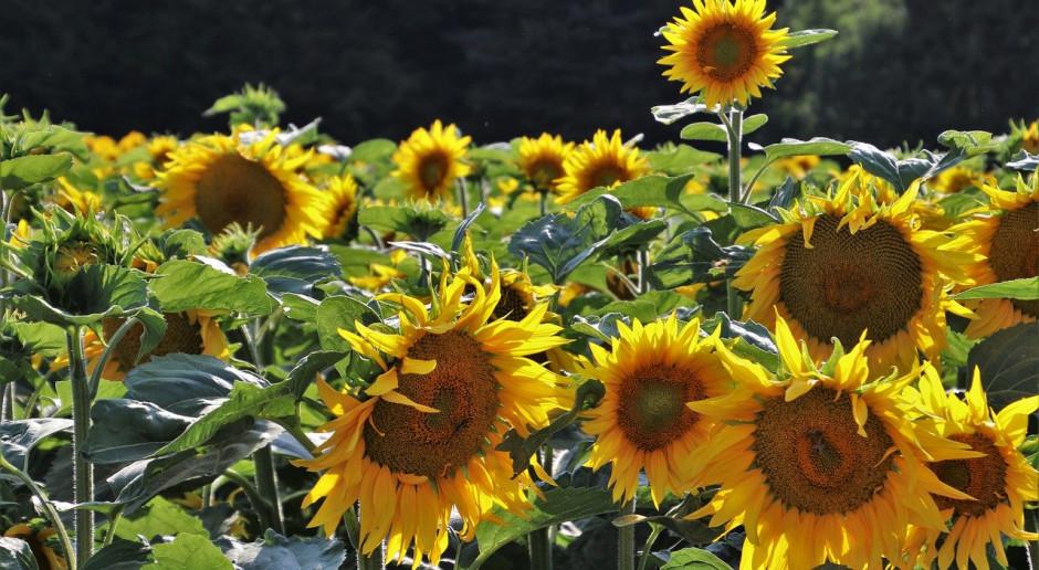 Ukraina: Znaczne straty również w uprawie słonecznika
