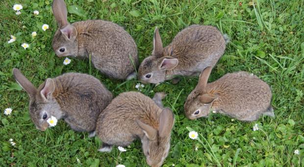 Ktoś porzucił w lesie kilkadziesiąt chorych królików