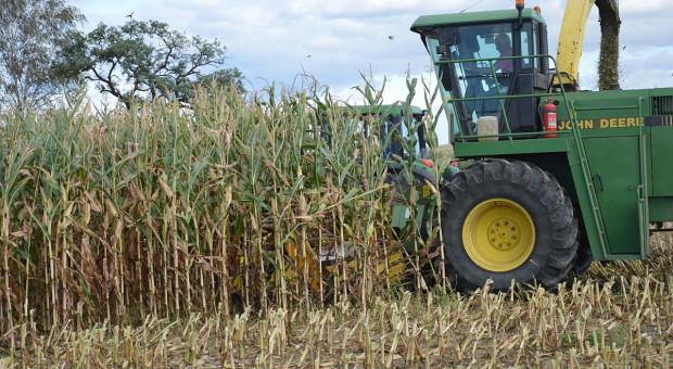 Kukurydza na kiszonkę – wysokość cięcia