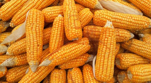 W Chinach zaczyna brakować kukurydzy