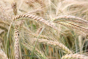 Które odmiany pszenżyta najwyżej plonowały w 2020 r.?