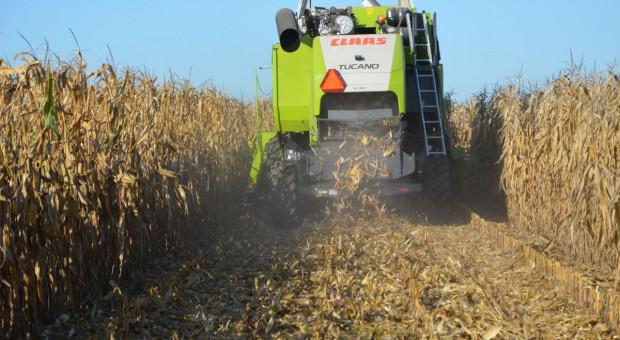 Jakie ceny zbóż i kukurydzy?