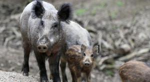 Niemcy: Znaleziono kolejną dużą grupę dzików z ASF