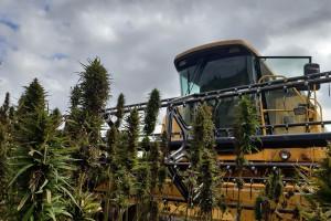 Konopie – jednoetapowy zbiór nasion kombajnem