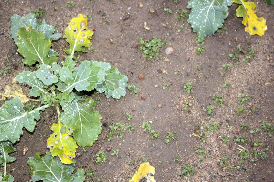 Chwasty w rzepaku mogą wschodzić do późnej jesieni. Na szczęście, są także takie rozwiązania herbicydowe, które można stosować praktycznie dokońca wegetacji jesiennej