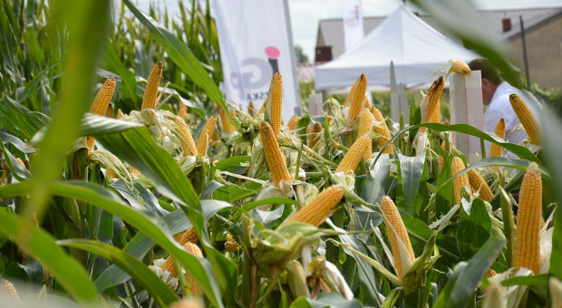 Najlepsze odmiany kukurydzy od IGP