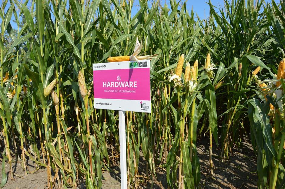 Odmiana kukurydzy Premium w ofercie IGP Polska; Fot. Katarzyna Szulc