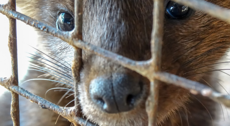 Dyrektor HSI: Decyzja rządzącej partii o zakazie hodowli zwierząt futerkowych pożądana i zasadna