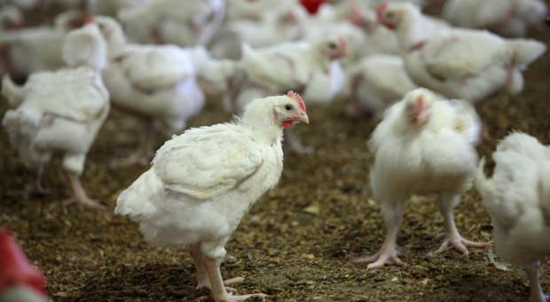 Producenci drobiu mogą utracić wysokomarżowe towary