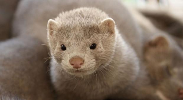 Lenz (PO) o zakazie hodowli zwierząt na futra: czemu mamy być frajerami