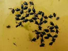 Pchełka rzepakowa, chrząszcze wyłapane w żółte naczynia sygnalizacyjne