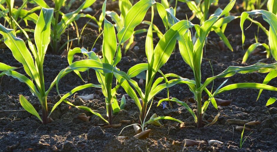 Francja: Ostrzeżenie przed niedoborem nasion kukurydzy