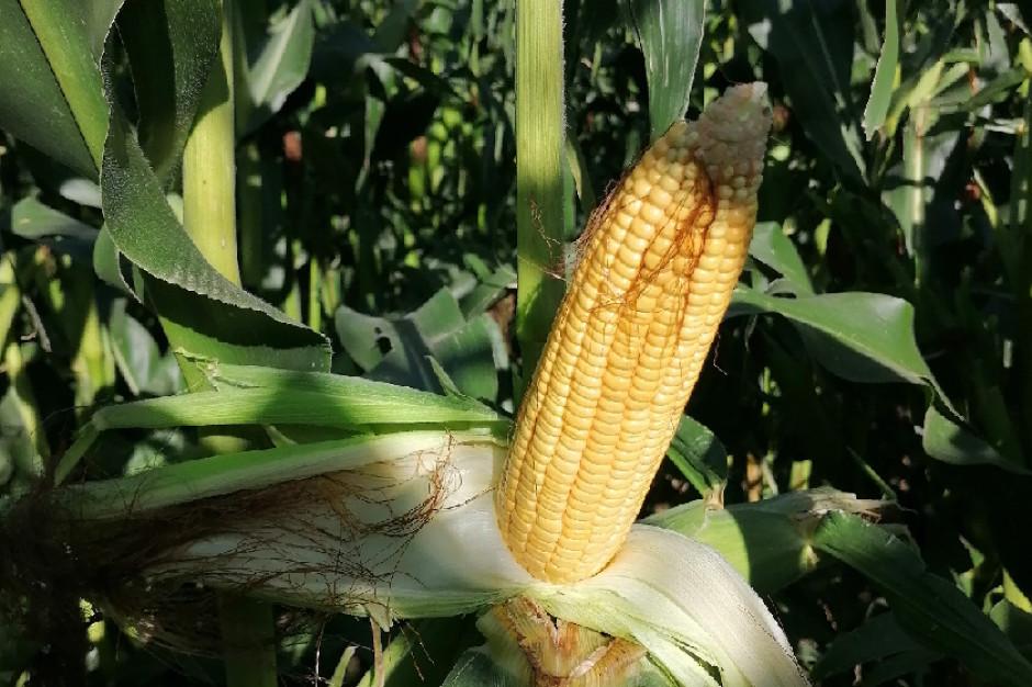 Kukurydza w siewie bezpośrednim w żyto – pierwsze wnioski z uprawy