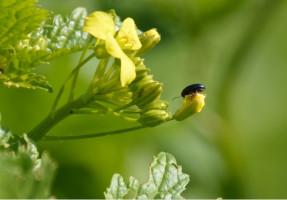 Pchełka rzepakowa (Psylliodes chrysocephala L.) z gorczycy przelatuje na młody rzepak; Fot. Katarzyna Szulc