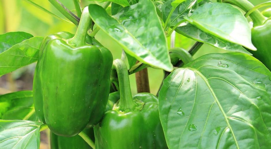 Podejrzenie zmowy cenowej przy skupie papryki i owoców na Mazowszu