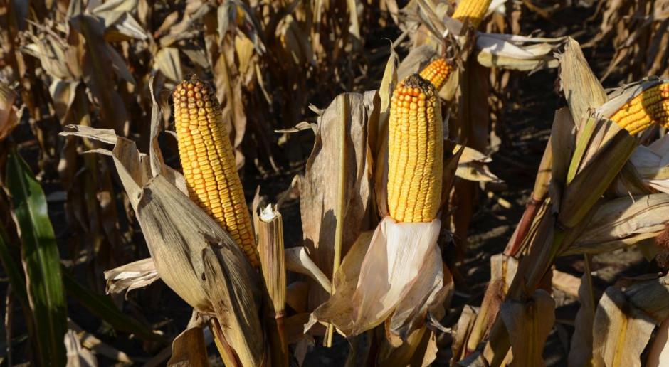 IZP: Brak kukurydzy na rynku wewnętrznym