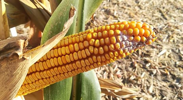 Fuzarioza widoczna w kukurydzy
