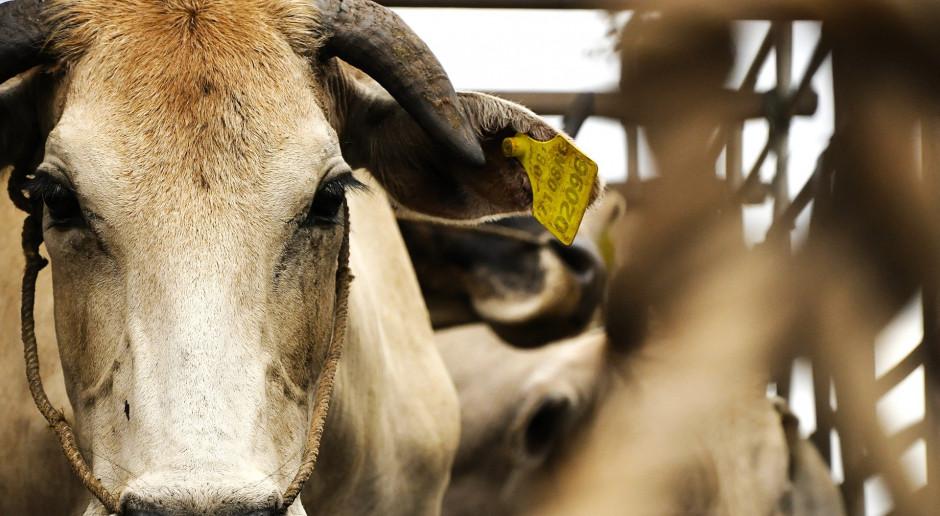 Czy można zakazać uboju bez ogłuszania – czyli czy ustawę o ochronie zwierząt przyjęto na serio?
