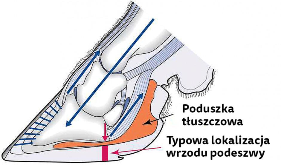 Poduszka tłuszczowa wypełnia przestrzeń pomiędzy kością racicową ipodeszwą