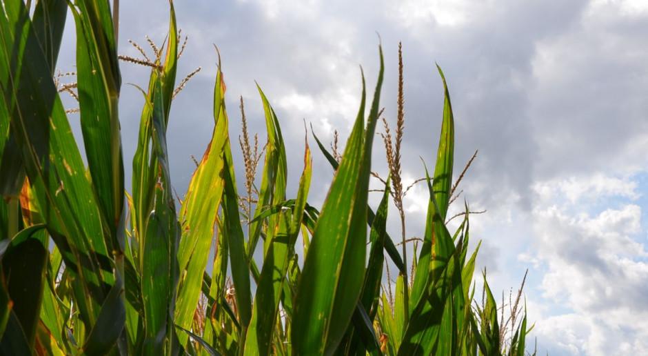 IZP: Kukurydza mokra po 420-470, a sucha po 600-650 zł/t netto