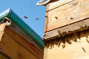 Pszczoły dobrze przezimowały, ale zaszkodzić im może ochłodzenie