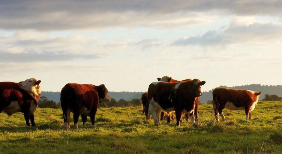 Stada bydła stratowały dwóch mężczyzn