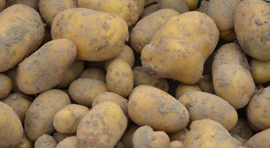 Wysokie zbiory ziemniaka, ale niskie ceny