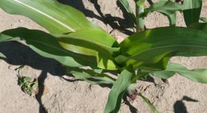 Bromoksynil bez zatwierdzenia. Co dalej z ochroną kukurydzy?