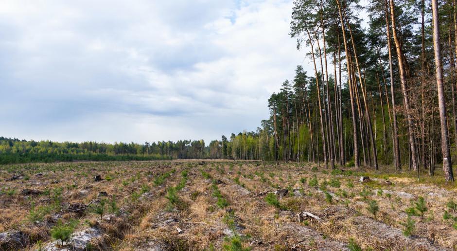 W lasach Podkarpacia trwa coroczne smarowanie sadzonek