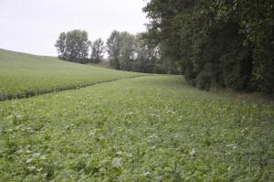 W miejscach o niskim potencjale plonowania, np. przy obrzeżach lasów, rolnik wysiewa w sezonie wegetacyjnym rośliny poplonowe, w ten sposób spełnia część wymogów zazielenienia
