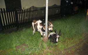W volkswagenie oprócz kierującej i jej ojca znajdowały się dwie kozy