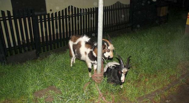 Dwie kozy w karambolu