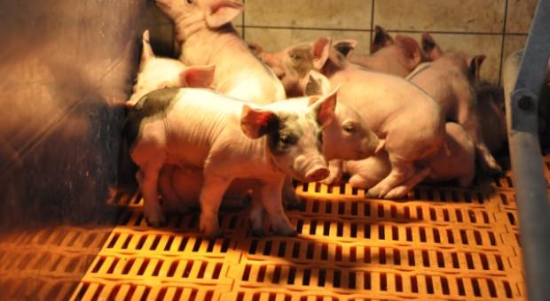 Kolejne ogniska ASF. To już prawie 57 tys. zlikwidowanych świń
