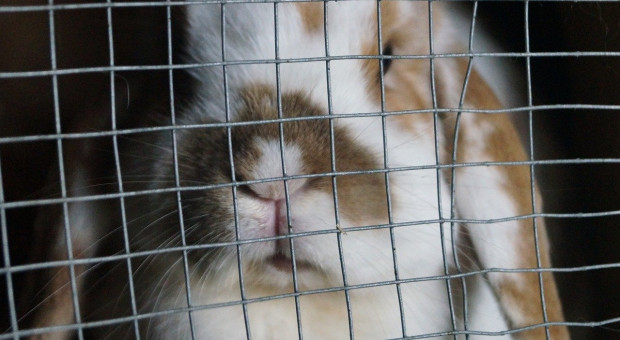 UE: 1,4 miliona obywateli przeciwko klatkom dla zwierząt