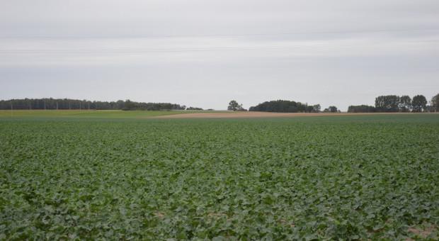 UE: W 2021 r. może ponownie się zmniejszyć areał uprawy rzepaku