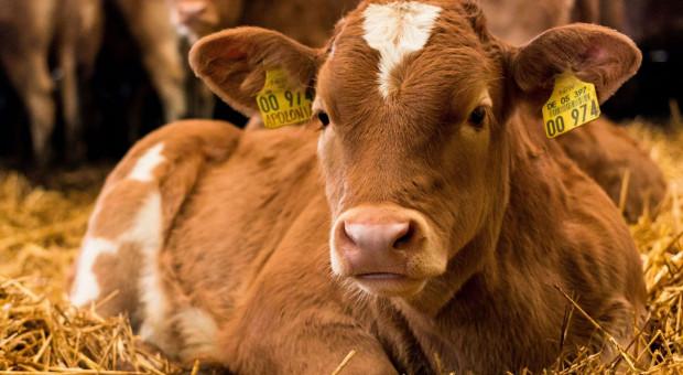 Jak z fragmentu ucha pozyskać cenne informacje? Droga przez Laboratorium Genetyki Bydła