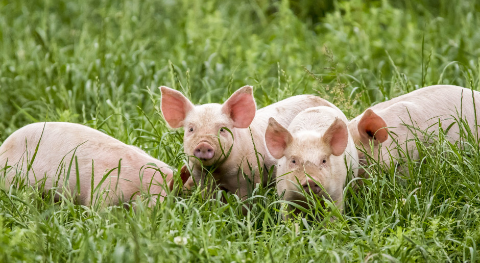 Jaka będzie przyszłość dobrostanu świń?