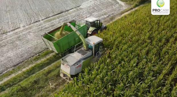 Zbiór kukurydzy 2020 na kiszonkę - odmiany PROCAM