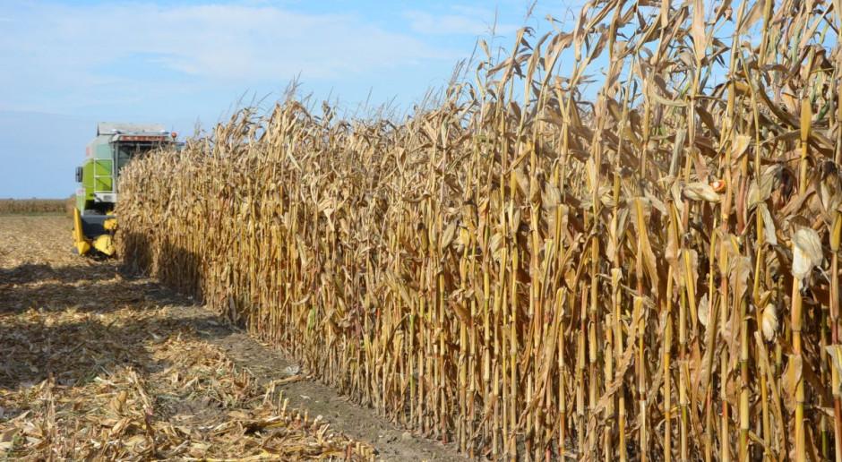 Wysoka wilgotność kukurydzy, cena suchej rośnie
