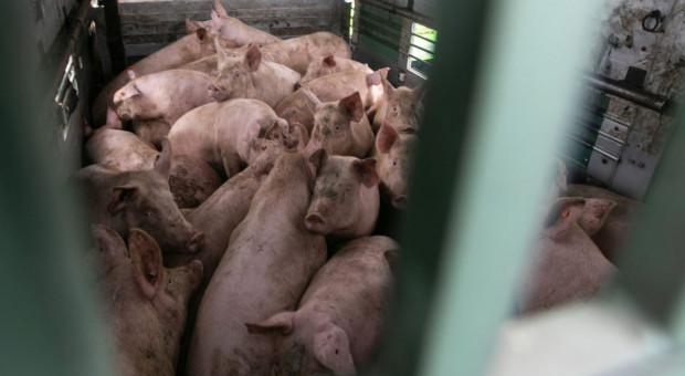 Wywrócił się tir wiozący świnie