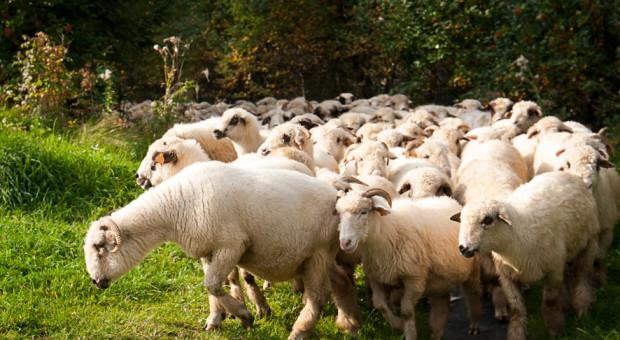 Odkryć mięso jagnięce i baranie na nowo