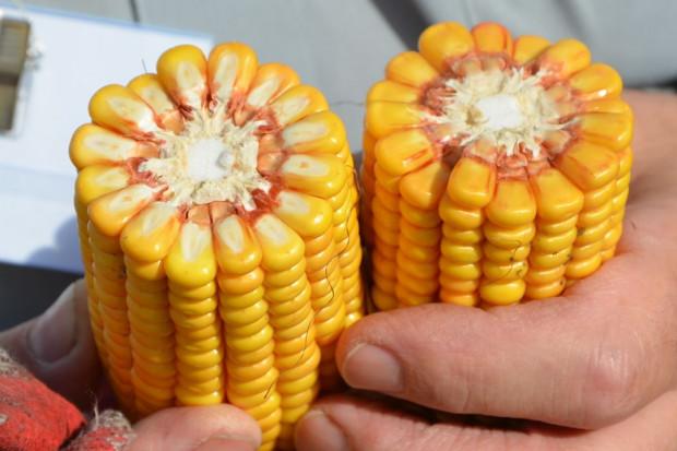 Które odmiany kukurydzy poradziły sobie najlepiej w tym sezonie?
