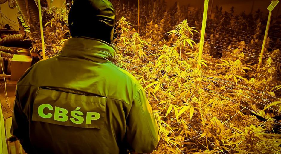 Wielka plantacja i rodzinny biznes na marihuanie