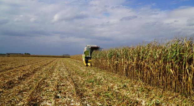 IZP: Wytwórnie pasz oferują 800-820 zł/t za kukurydzę