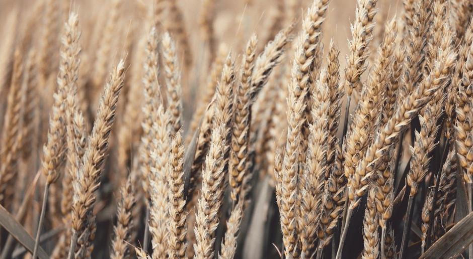 Po raz pierwszy zatwierdzona pszenica GM