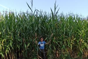 Kukurydza wysoka na 4 m