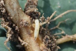 Śmietka kapuściana na korzeniach rzepaku bezkarna
