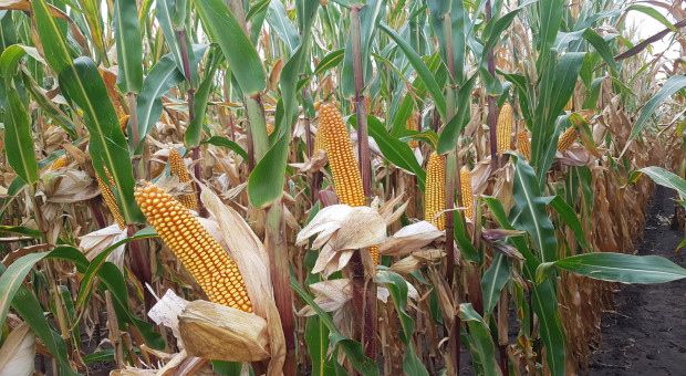 Hodowla kukurydzy pastewnej